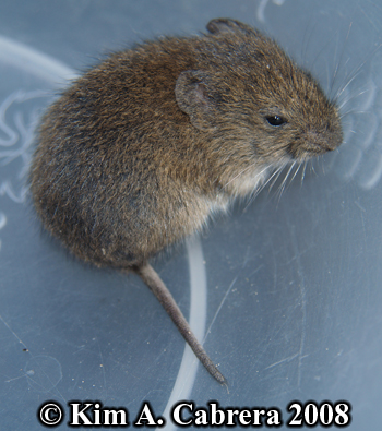 Vole saved from a cat.  Photo copyright Kim A. Cabrera 2008.