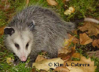 Young opossum                         eating. Photo by Kim A. Cabrera.