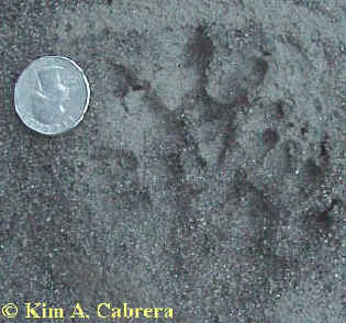 Opossum right tracks. Photo by Kim A. Cabrera.