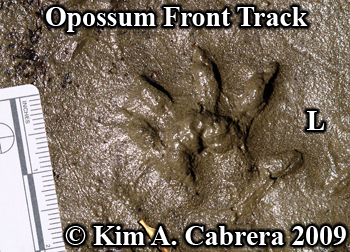 opossum track or footprint. Photo copyright Kim A. Cabrera 2009.