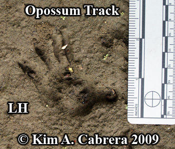 opossum left hind pawprint. Photo copyright Kim A. Cabrera 2009.