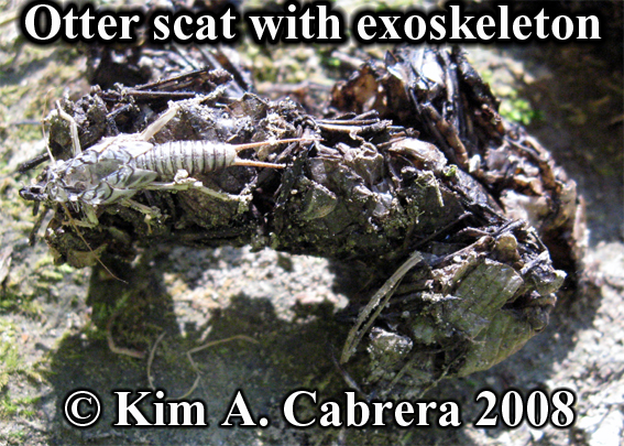 River otter scat with exoskeleton from macroinvertebrate. Lutra canadensis. Photo copyright by Kim A. Cabrera 2008.