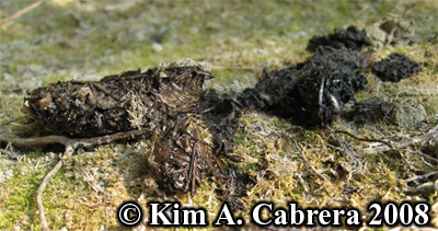 River otter scat or droppings. Photo copyright Kim A. Cabrera 2008.