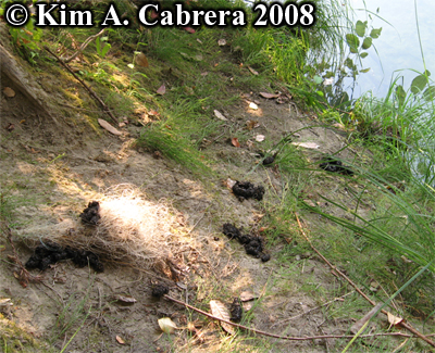 Six river otter scats or droppings. Photo copyright Kim A. Cabrera 2008.