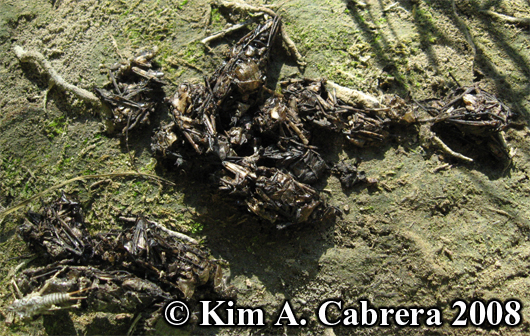 River otter scat. Lutra canadensis. Photo copyright by Kim A. Cabrera 2008.