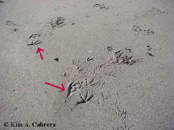 Tracks of two pelicans landing.