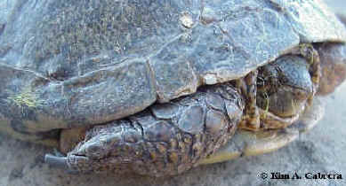 Pond turtle found in Bull Creek, Humboldt Redwoods State Park, California.   Photo copyright Kim A. Cabrera