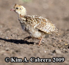 quail youngster