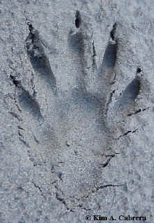 uk could this be mystery panther paw print high