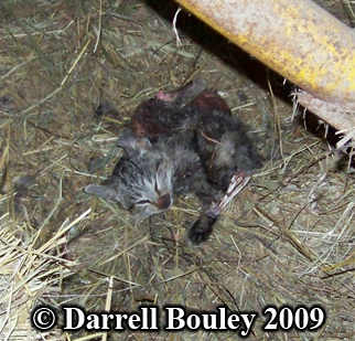 Barn cat killed by a raccoon. Photo copyright Darrell Bouley 2009.