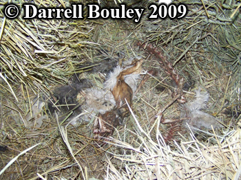 Domestic cats killed by a raccoon and hidden in hay. Photo copyright Darrell Bouley 2009.