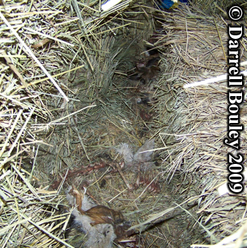 Domestic cats killed by a raccoon. Photo copyright Darrell Bouley 2009.