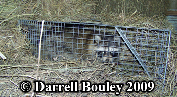 Raccoon caught in trap. Photo copyright Darrell Bouley 2009.