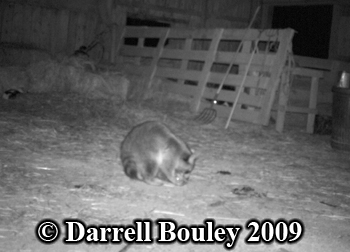 Raccoon feeding on cat carcass. Photo copyright Darrell Bouley 2009.