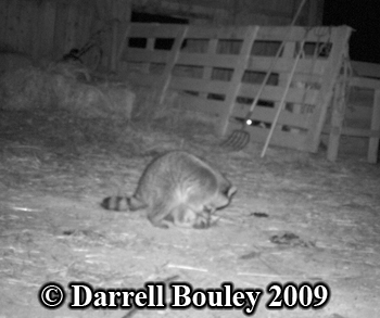 Raccoon eating cat. Photo copyright Darrell Bouley 2009.