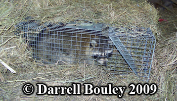 The raccoon is caught. Photo copyright Darrell Bouley 2009.