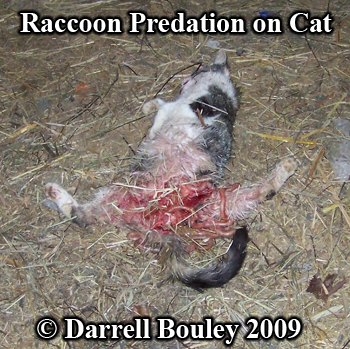 Cat partially eaten by raccoon. Photo copyright Darrell Bouley 2009.
