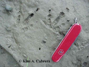 Raven                         tracks in mud. Eel River near Redway,                         California. February 2001. Photo by Kim A.                         Cabrera.