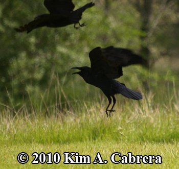 ravens taking flight