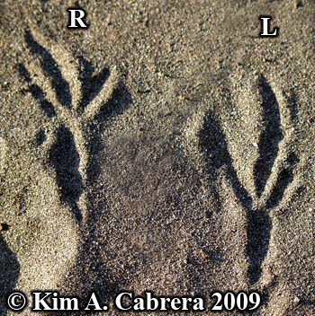 Raven tracks. Photo copyright Kim A. Cabrera 2009.