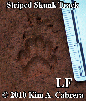 Perfect left front striped skunk track, showing