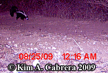 A skunk whose photo was taken with a trail