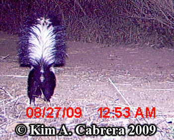 Striped skunk showing his tail to the camera