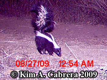 Striped skunk on trail camera