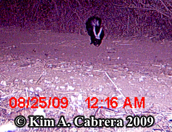 Trail camera view of striped skunk