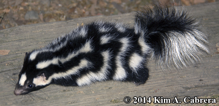 Western Spotted Skunk Tracks and Sign