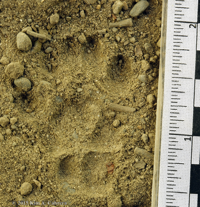 western spotted skunk track
