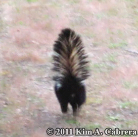 striped skunk retreating from the photographer