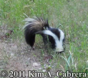 striped skunk foraging for food