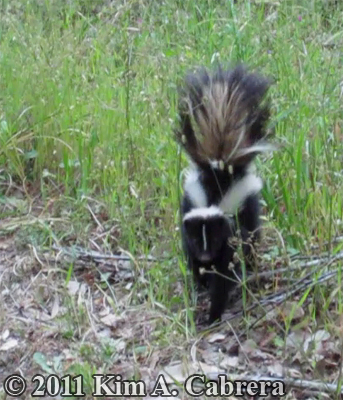 striped skunk looking at me