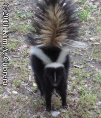striped skunk charging the photographer with tail raised