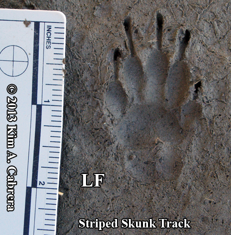 Skunk Tracks vs Raccoon Tracks Front Striped Skunk Track