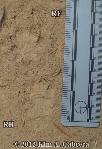 striped skunk tracks in dust
