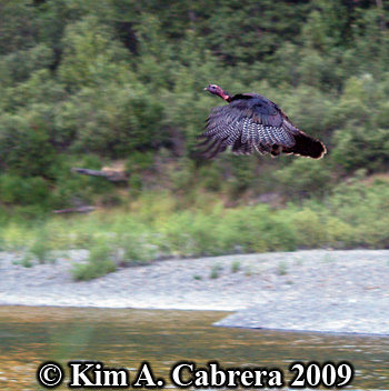 flying turkey. Photo copyright Kim A. Cabrera 2009.