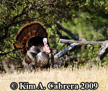 Tom turkey. Photo copyright Kim A. Cabrera 2009.