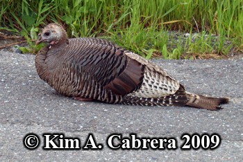 Resting turkey hen. Photo copyright Kim A. Cabrera 2009.