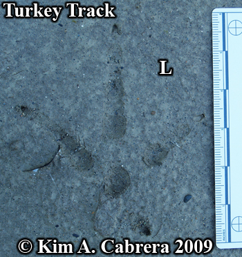 Wild turkey track. Photo copyright Kim A. Cabrera 2009.