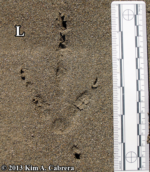 Turkey vulture tracks