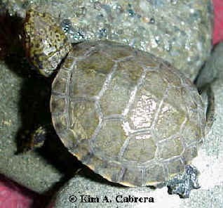 Baby pond turtle. Photo copyright Kim A. Cabrera