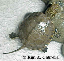 Baby turtle from the Eel River. Photo copyright Kim A. Cabrera