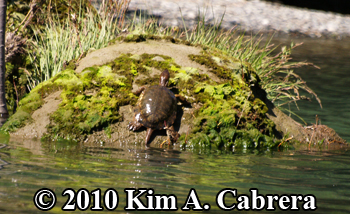 mossy rock turtle. Photo copyright Kim A. Cabrera.