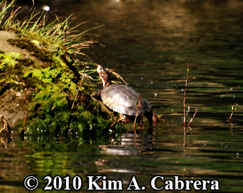 turtle above waterline. Photo copyright Kim A. Cabrera.