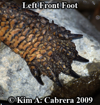 pond turtle foot. Photo copyright Kim A. Cabrera 2009.