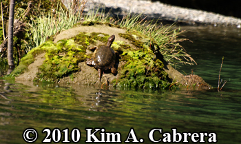 turtle on rock. Photo copyright Kim A. Cabrera.