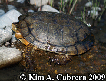 Western pond turtle. Photo copyright Kim A. Cabrera.