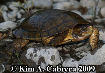 pond turtle in the Eel river. Photo copyright Kim A. Cabrera 2009.